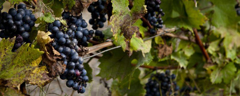 Gel automnal dans les vignes : plus de peur que de mal